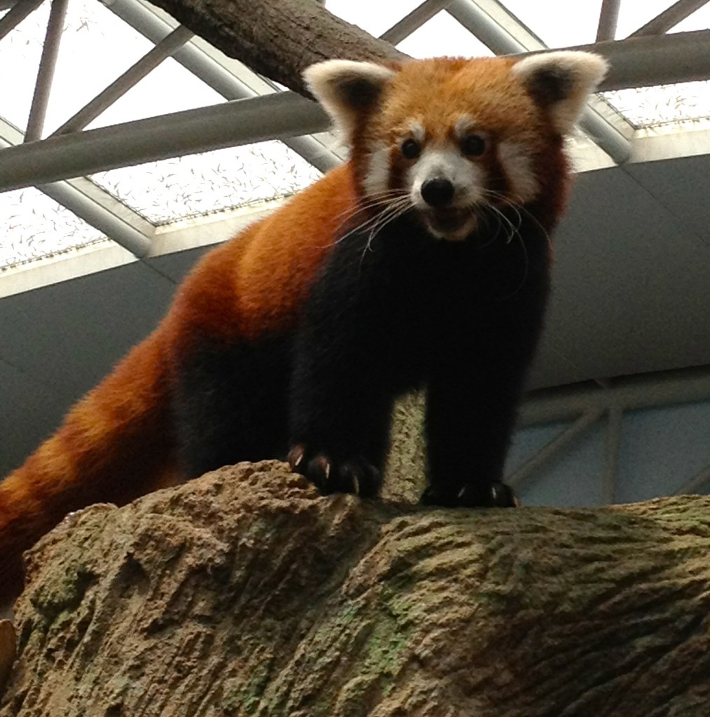 The oft overlooked and forgotten Red Panda.