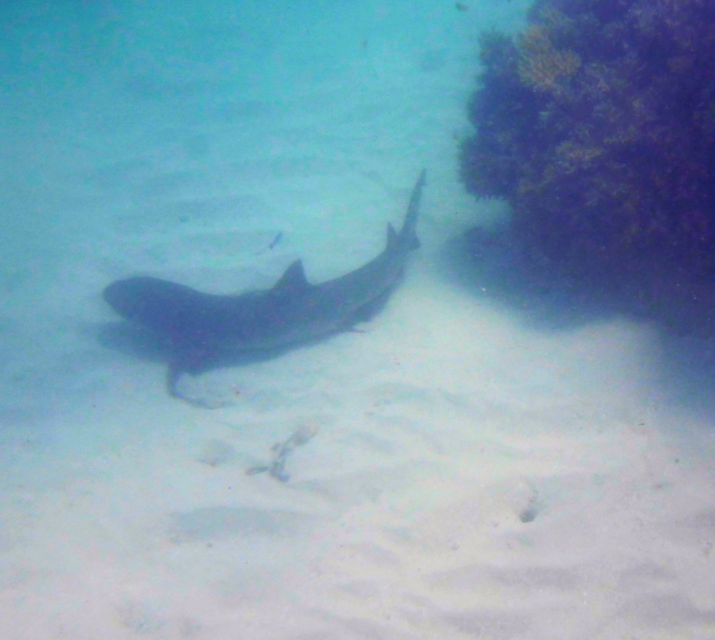 also found large reef shark basking on the sandy bottom
