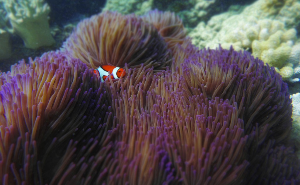 Found our little clown fish... too sweet.