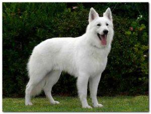 white-german-shepherd-dog-breed